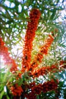 Hippophae Rhamnoides (Seaberry) Extract